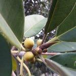 Ficus rubiginosa fruit