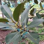Ficus rubiginosa leaves