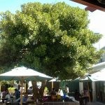 Mature Ficus rubiginosa at coffee shop