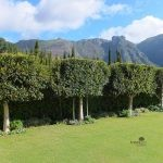 Topiary Ilex mitis hedge