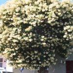 Mature Nuxia floribunda flowering