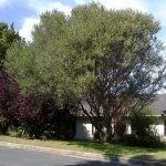 Mature Olea africana - Stellenbosch