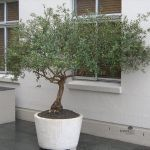 Olea africana planted in a pot