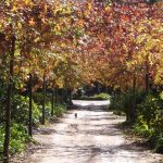 Quercus palustris Autumn - Avenue