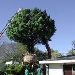 Afrocarpus latifolius rescued in Dalsig, Stellenbosch