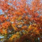 Mature Quercus palustris in Autumn - Stellenbosch