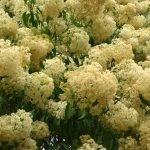 Nuxia floribunda flowers