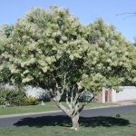 Mature Nuxia floribunda flowering - Stellenbosch