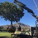 Mature Syzygium cordatum rescue - Stellenbosch