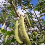 Vachellia sieberiana seed pods