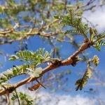 Vachellia xanthophloea leaves