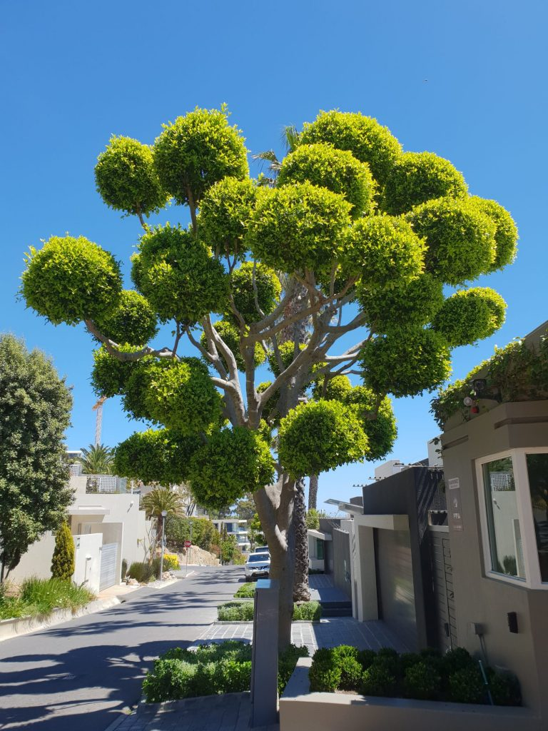 Trees for Residential Landscapes   Trees SA