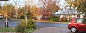 Woodland Garden - Betula pendula (Silver birch)