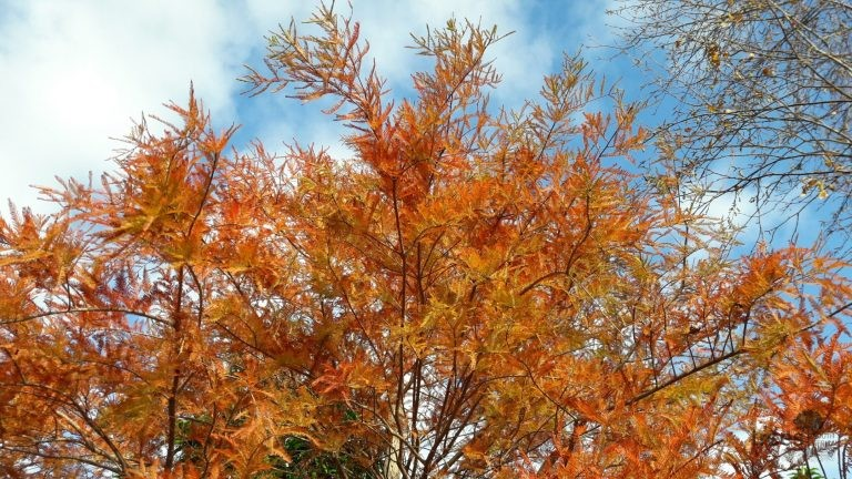 Taxodium disticum foliage - autumn