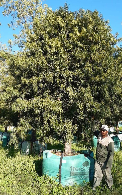 Podocarpus henkelii 2000L