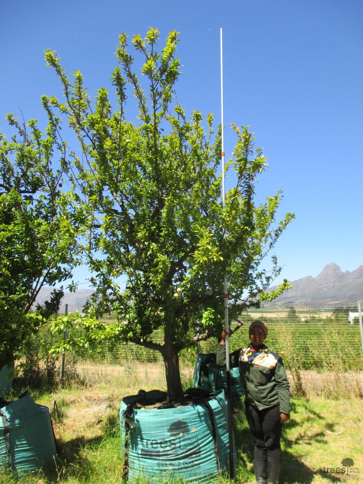 Prunus domestica 1000L