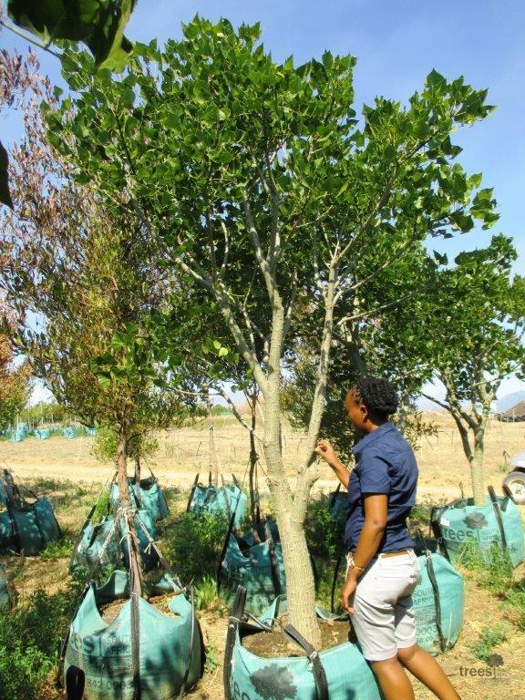 Erythrina caffra 250-L