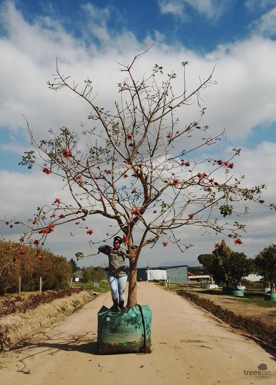 Erythrina caffra 1000L
