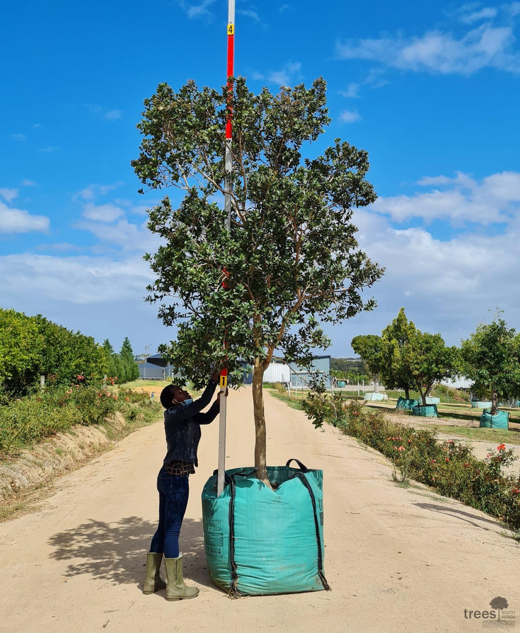 Syzygium gerrardii 500L