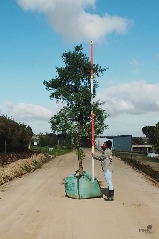 Afrocarpus elongatus-500L