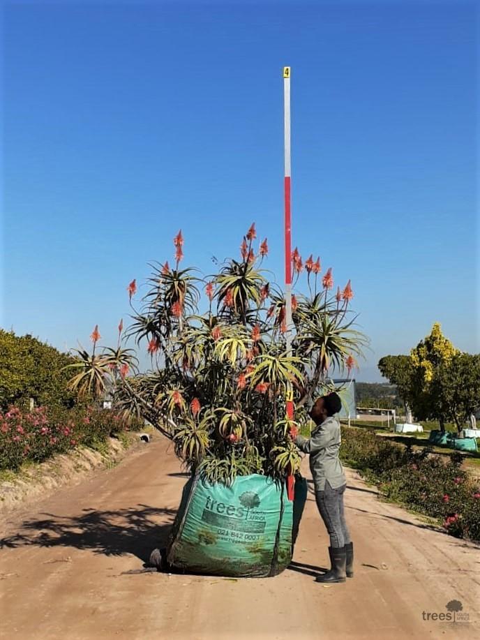 Aloe arborescens-1000