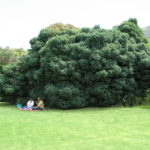 Kirstenbosch tree specimen