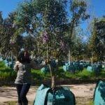 Buddleja salviifolia 500L