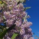 Buddleja salviifolia flowers