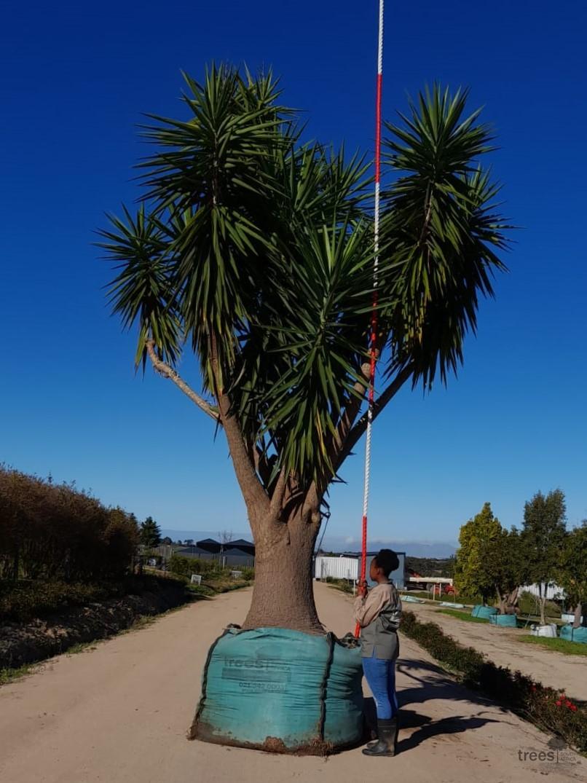 Yucca aloifolia 2000L Sample web