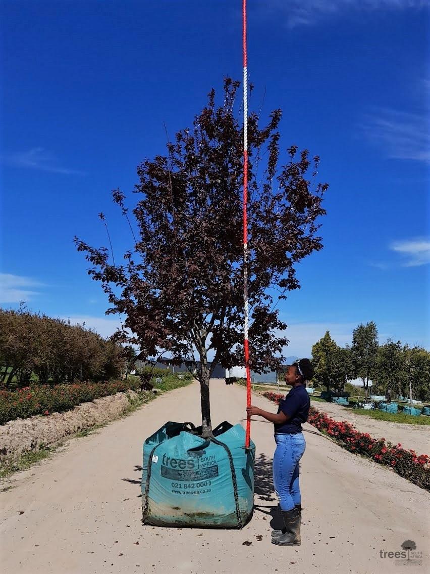Prunus cerasifera nigra 1000L